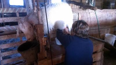 milking goat